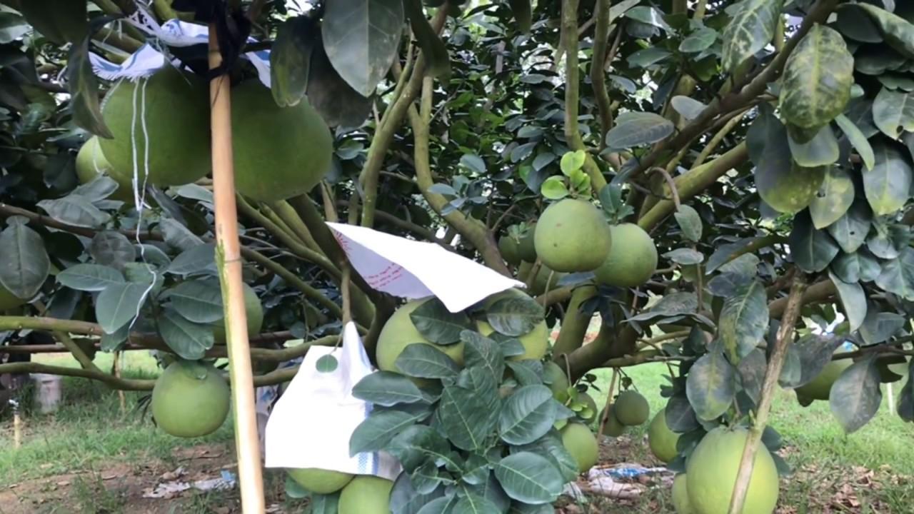 Kỹ thuật trồng bưởi da xanh cho trái khủng bán Tết tiền tỷ.