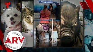 EE. UU. busca prohibir animales de apoyo emocional en aviones y genera polémica | Telemundo