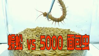 【分解实验】蜈蚣放入5000条面包虫里会怎么样?