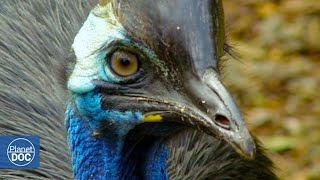 Cassowary: The most dangerous bird in the world.