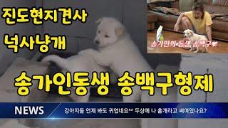 진도현지견사) 송가인동생 송백구형제, 넉사냥 진돗개