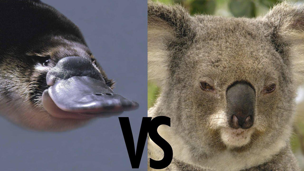 Platypus VS Koala  YouTube