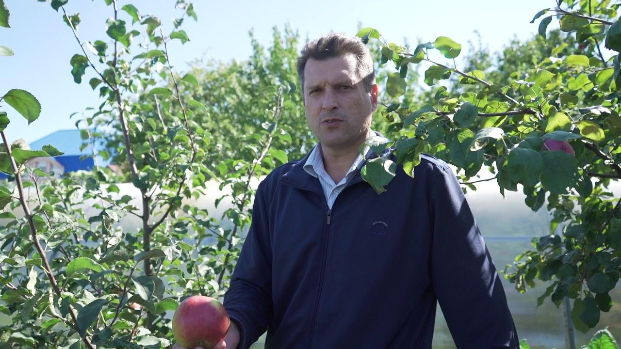 Для посадки яблони