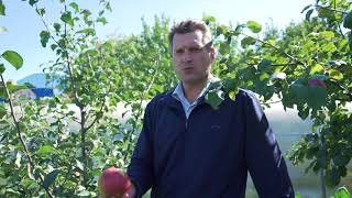 видео Яблоня Болотовское: описание и характеристика сорта