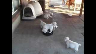 Bluelemon English Labrador Puppies With Roomba - 7 Rules Puppy Socialization