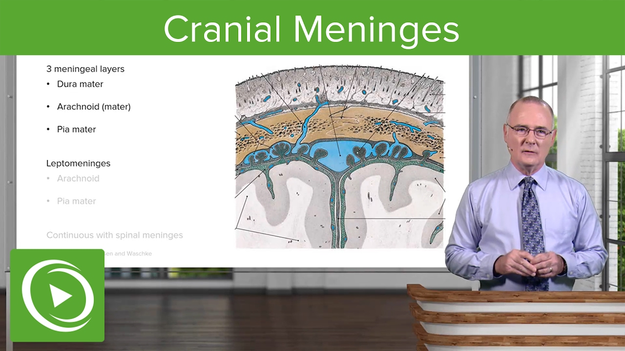 Cranial Meninges: Structures & Functions – Brain & Nervous System | Lecturio