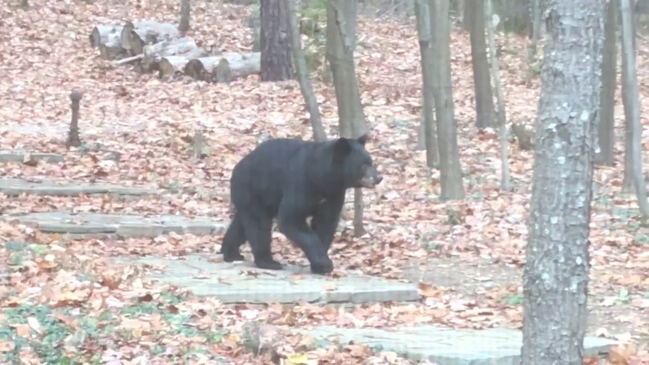 Black Bear in our yard in Sullivan County, NY - YouTube