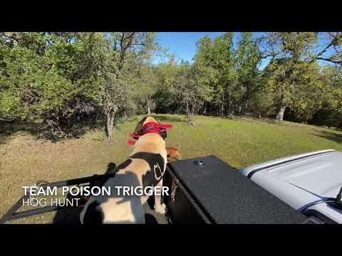Hog Hunting With Dogs! California!