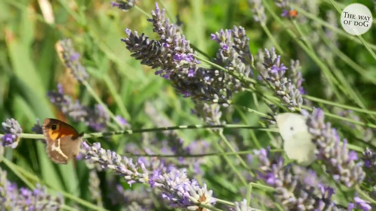 Butterflies and Bees on Fragrant Lavender - you may not be able to smell it yet, but...