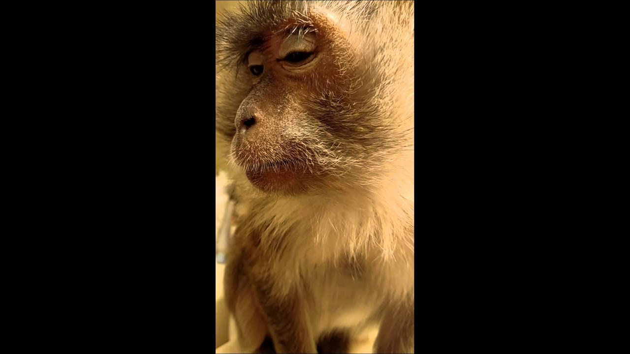 Is it legal to own a monkey in Pennsylvania?