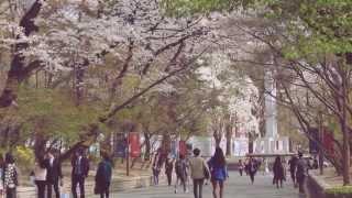 [경희대학교 봄날의 벚꽃 풍경] cherry blossoms in Kyung Hee University
