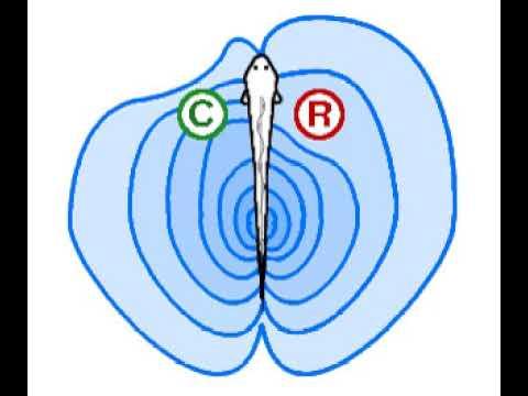 Chemoreception In Fish | Wikipedia Audio Article