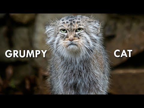 Pallass Cat: The Original Grumpy Cat