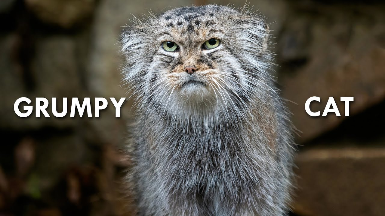 pallas-s-cat-the-original-grumpy-cat