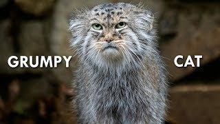 Pallas's Cat: The Original Grumpy Cat