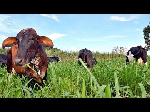 Curso Manejo de Pastagens - Consorciação