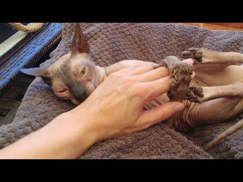Sphynx cat enjoying the day time / DonSphynx /
