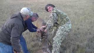 Hunters Rescue Deer From A Wild Pack Of Coyotes. ***warning***graphic***