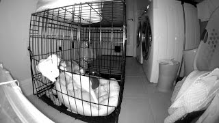 Rat Terrier Puppy Howling & Crying in Crate at Night