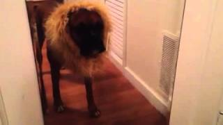 Gus The Boxer Dog Afraid Of Halloween Lion Costume
