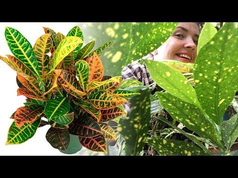 КРОТОН / КОДИЕУМ уход в домашних условиях 🌿 Почему опадают листья?