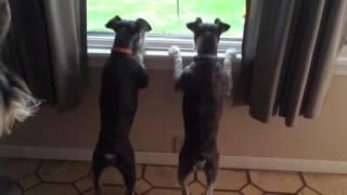 Bouncy Barking Schnauzers