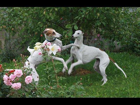 Собаки породы Грейхаунд! Greyhound dog breed!
