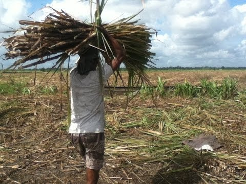 Guyana Cane Field Workers: A Tribute