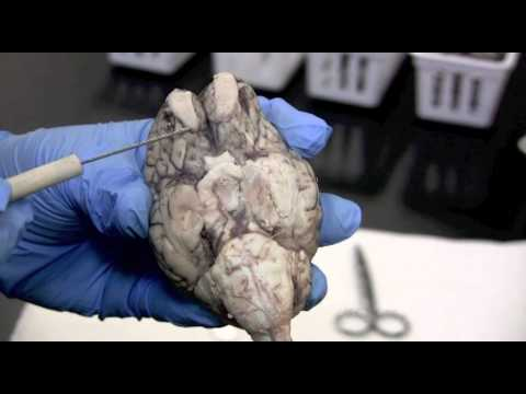 Sheep Brain Dissection Pt. 1 0f 2 - YouTube