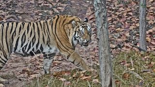 India 2015:  Bandhavgarh National Park  (Part 1)