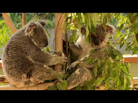 Vaccine Offers Hope For Koalas With STD