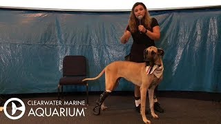 meet-maja-and-her-great-dane-rosie-both-have-prosthetic-legs