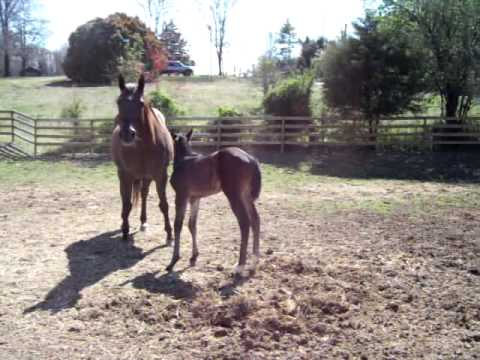 Mister Charisma's First Foal Ever!  Hailey!  AQHA Registered Name Pending.