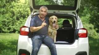 Subaru Vignettes 2014 With Cesar Milan & Bailey, The Golden Retriever