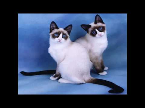 Snowshoe Cat and Kittens   History of the Snowshoe Cat Breed