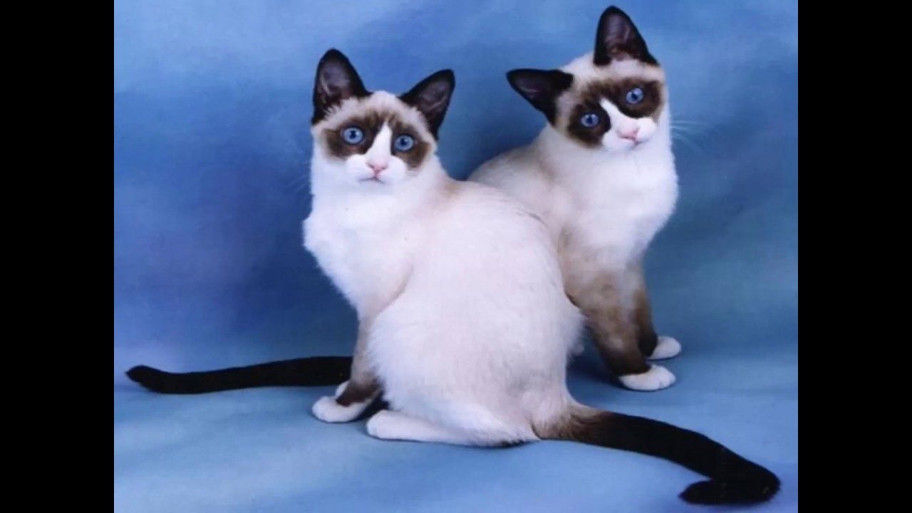 Snowshoe Cat and Kittens
