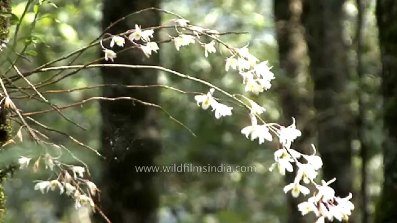 Beautiful Ground Growing Bamboo Orchid And Tree Orchids In