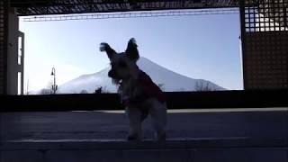 さくぽん❀山中湖シアターひびき (ヨークシャテリア) thumbnail