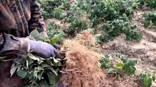 Батькив сад  Копаем саженцы малины трактором(, 2015-10-17T17:47:19.000Z)