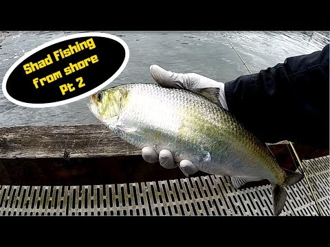Shore Fishing For Shad Pt2- Jigging For Shad On The Willamette River 6-14-18
