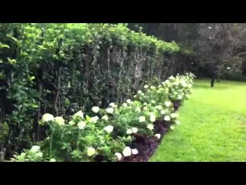 hydrangeas limelight youtube. Black Bedroom Furniture Sets. Home Design Ideas