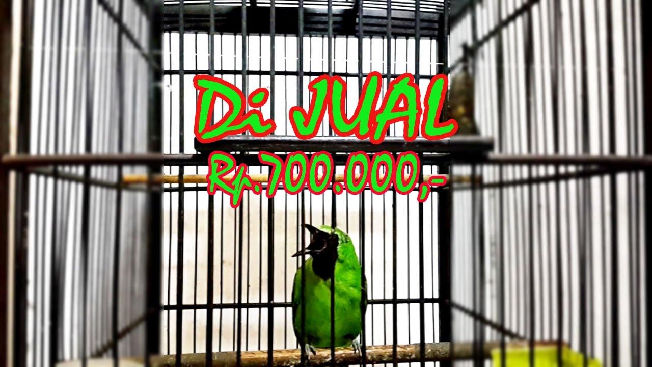 Dijual Cucak Ijo Gacor 15 Menitan 700 Ribu Youtube