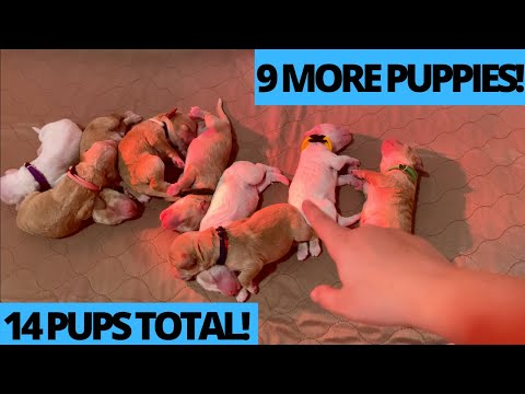 14 Labradoodle Puppies! WHELPING VLOG! | At Home With Tia