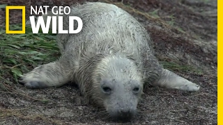 A Seal Pup Loses Its Mom | Destination WILD