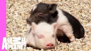 Pups and Piglets Romp | Too Cute!