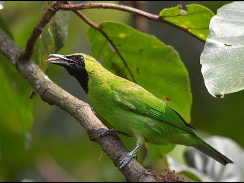 Burung Cucak Ijo Gacor Ngentrok Jambul Nembak