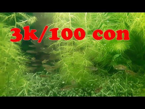 Tập 126: Cá trâm thủy sinh cực dễ thương – Cá cảnh Đại Dương 0946 033 334