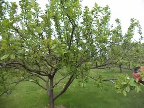 Pruning plum trees