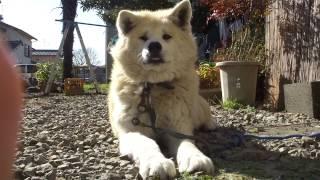 年に1度、会うと僕を威嚇する実家の秋田犬・チェリー(9歳半・雌)。し...
