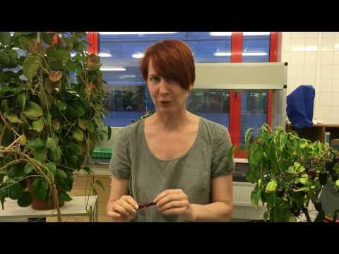 Odla chili med Anna och Ellen - del 2 Chiliskolan Fröer